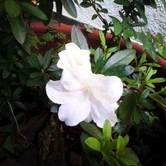 Minha azaleia branca, uma sobrevivente!