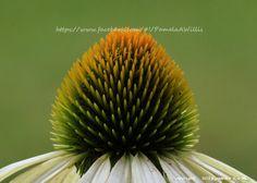 White Swan Echinacea (close up) #Garden #Flower #Photography    https://www.facebook.com/#!/PamelaAWillis