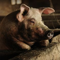 """Pigs and goats need your help 