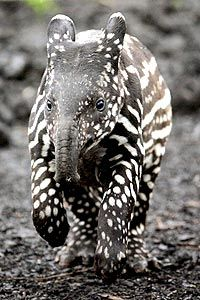 Baby Malayan Tapir. Someone go to Malaysia and get me one!