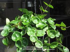 House Plants Vines grape ivy house plants are easy to grow. these tropical natives