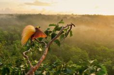 Greater Bird-of-paradise (Paradisaea apoda), Papua New Guinea