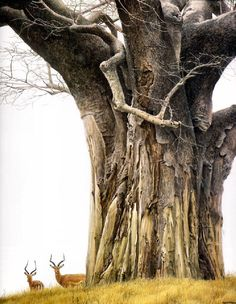 Baobab Tree and Impalas by Robert Bateman