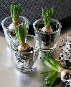 Säsongens första hyacinter