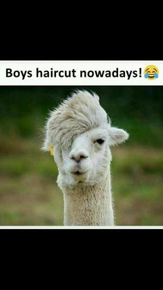Llamas and Alpacas are famous for their hair. Start viewing haircut ideas for Llamas and Alpacas. Funny Animal Memes, Funny Animal Pictures, Funny Animals, Cute Animals, Funny Memes, Animal Funnies, Jokes, Animal Quotes, Alpacas