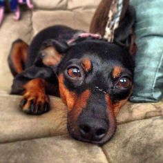 Miniature pinscher bailey Renee relaxing on the couch. Love my puppy girl! She'll be 7 this year