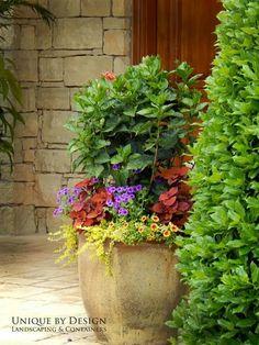 Hibiscus thriller. Container gardening