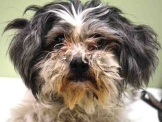 SAFE --- Manhattan Center   FREY - A1021107  FEMALE, WHITE / GRAY, SHIH TZU, 6 yrs STRAY - STRAY WAIT, NO HOLD Reason STRAY  Intake condition EXAM REQ Intake Date 11/19/2014, From NY 10029, DueOut Date 11/22/2014,      New thread: https://www.facebook.com/photo.php?fbid=909049422441271