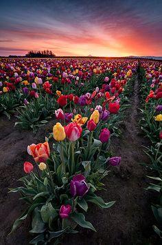 Spring Boquet. Los tulipanes han sido siempre una de mis flores favoritas. Sencillos y coloridos.