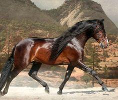 Pura Raza Española stallion, Selecto SG. photo: Kevin Kidder.