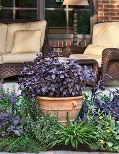 Purple Basil (Ocimum basilicum)