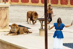Les lions Parc Puy du Fou #Lions #lion #sauvage #free #spectacle #show #PuyduFou