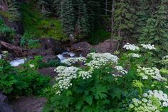 Telluride Wildflowers - Queen Anne's Lace and some Tall Blue Chiming Bells along the trail below Bridal Veil Falls near Telluride. | Rick Louie Photography