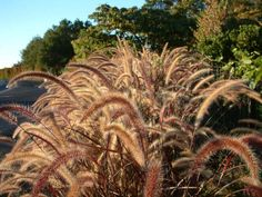Plant photo of: Pennisetum setaceum 'Rubrum' Drought Resistant Landscaping, Yard Landscaping, Types Of Soil, Types Of Plants, Purple Flowers, Colorful Flowers, Pennisetum Setaceum, Autumn Leaf Color, Fountain Grass
