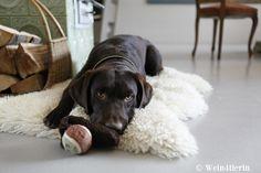 Ebner-Ebenauer: Gut Ding braucht Weile › Wein4tlerin Labrador Retriever, Dogs, Animals, Good Things, Do Your Thing, Labrador Retrievers, Animales, Animaux, Pet Dogs