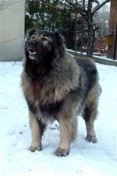 caucasian sheepdog | Excitement N Net: Gigantic Dogs - Caucasian Shepherd Dog Russian Bear Dog, Caucasian Shepherd Dog, Tallest Dog, Huge Dogs, Mountain Dogs, Types Of Dogs, Best Dogs, Dog Breeds, Dogs And Puppies