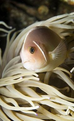 Pink anemonefish (Amphiprion perideraion) on the Pintu Colada dive site, Lembeh…