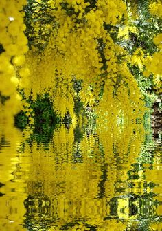 Ana Rosa - This is so lovely. it calms me. Exotic Flowers, Yellow Flowers, Beautiful Flowers, Yellow Tree, Flowers Gif, Shades Of Yellow, Colour Yellow, Mellow Yellow, Flower Power