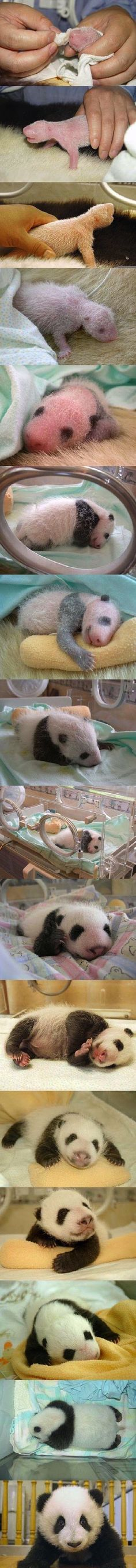 new born panda... OMG im freaking out on how adorable these new born pandas r