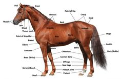 New Blog to STT -- Fitting Cinches: Part 2 | Learn about how to properly fit a cinch onto your horse. | blog.SouthTexasTack.com #STTblog