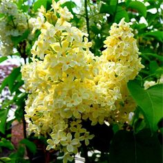 Yellow lilacs - I've never seen these before! I wonder if they smell the same as purple lilacs?