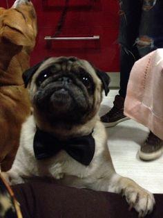 Pug, Animals, Bouquets, Animales, Animaux, Pugs, Animal, Animais, Pug Dogs