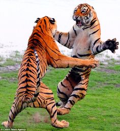 animals happy international tiger s day these are 2 of the last 4000 tigers left in the wild 6616773 Animals wild Tiger Pictures, Animal Pictures, Beautiful Cats, Animals Beautiful, Animals And Pets, Baby Animals, Wild Animals, Giant Cat, Cat Anatomy