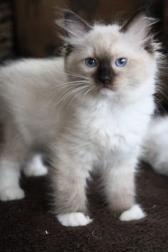 Super cute seal point mitted Ragdoll kitten