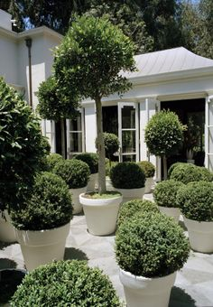 Large boxwoods in white planters - home of Kelly Wearstler - photo by Francois Halard