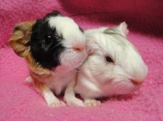 Courtesy of Metropolitan Guinea Pig Rescue. Cute baby {iggies!!! <3 So precious!!