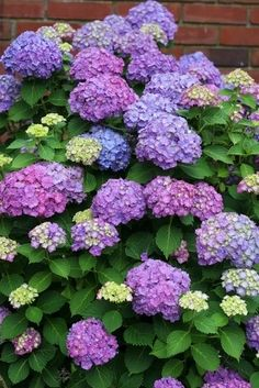 Blue, lavender & purple hydrangeas. (Always wanted this for my garden...wrong zone...need to move)