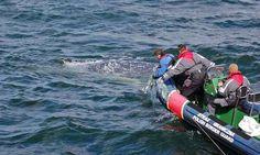 4 lipca 2016, krótko przed godziną 5 otrzymaliśmy wiadomość z jednostki rybackiej JEL-8 o wielorybie zaplątanym w sieci w Zatoce Gdańskiej ok. 0,5 km na północ od Westerplatte. Zazwyczaj informacje o ssakach uwięzionych w sieciach oznaczają smutną konieczność odbioru i zabezpieczenia zwłok