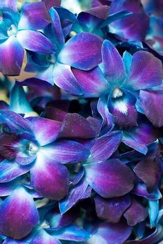 blue and purple dendrobium orchids I am obsessed with these and this is my cell phone wall paper