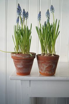 staggering 31 Indoor Garden Ideas to Cure the Winter Blues Spring Bulbs, Spring Blooms, Spring Flowers, Winter Flowers, Garden Bulbs, Garden Pots, Garden Ideas, Flower Power, Pot Plante