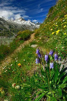 Oberaar Grimsel Alpenblumen, Suisse