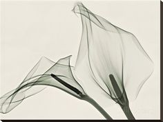 X-Ray of Calla Lily Flowers Photographic PrintMore Pins Like This At FOSTERGINGER At Pinterest