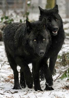 Wolves are such beautiful creatures.