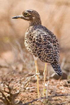 Spotted Thick-knee (Burhinus capensis) also known as the Spotted Dikkop or Cape Thick-knee, is a stone-curlew in the family Burhinidae.