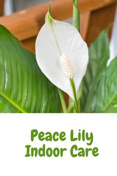 This peace lily indoor care guide will give you all you need to know for selecting, growing and maintaining your peace lily houseplant. Peace Lily Plant Care, Peace Lily Flower, Indoor Flowers, Indoor Plants, Peace Lily Indoor, Prayer Plant Care, Phalaenopsis Care, Plumeria Care, Center Blog