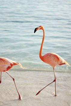 Aruba - flamingo prance