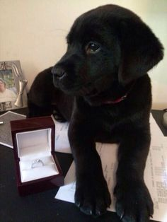 My dream! Puppy proposal with a lab or golden