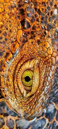 Macrojo, picture by Alvaro  Cubero Vega ( #iguana skin #texture)