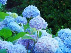 hydrangea | Hydrangea Garden Landscape art prints Baslee Troutman Photograph by ...