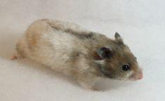 Yellowblack Polywhite Satin sh hamster (aaToY - L_Sasawh^pwh^p)