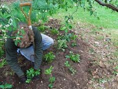 recap: 10 thoughts on successful underplanting - A Way To Garden Organic Gardening, Gardening Tips, Plants Under Trees, Bloom Where Youre Planted, Cold Brew Coffee Maker, Real Coffee, Maple Tree, Coffee Lover Gifts, How To Make Tea