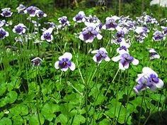 Viola hederacea native australia fast growing ground cover, help keep the weeds at bay! Australian Wildflowers, Australian Flowers, Australian Plants, Purple And White Flowers, Purple Plants, Edible Plants, Edible Garden, Australian Native Garden, Ground Cover Plants
