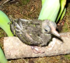 Prachtvruchtenduif jong Ptilinopus superbus