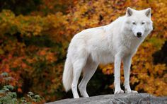 arctic-wolf.jpg (2560×1600)