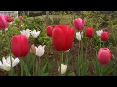 Color Harmony With Tulips | At Home With P. Allen Smith