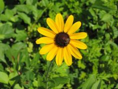 Flowers image: Black-Eyed Susan: Black-Eyed Susan in our yard with a tiny bee on it. ecard photos